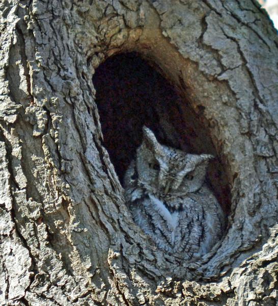 owl412.jpg