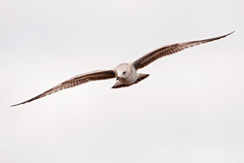 Gull - Ring-billed - juvenile - flight - Grand Marais, MN