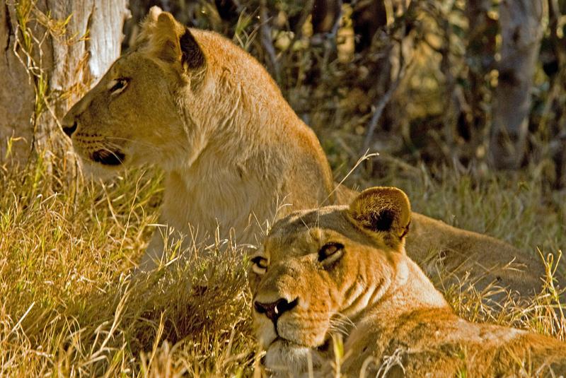 Lionesses3.jpg