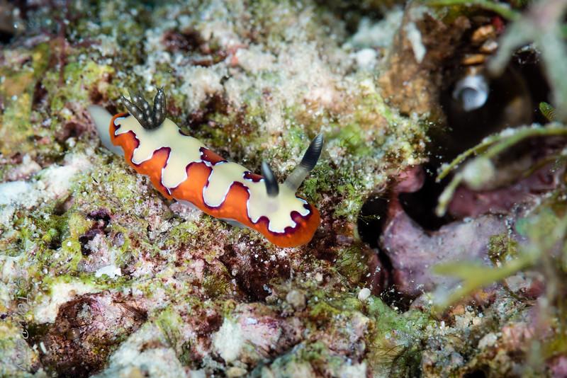 NUDIBRANCH - goniobranchus fidelis-.jpg