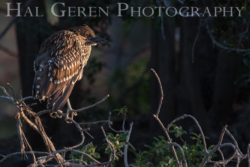 Black Crowned Night Heron Juvenile Newark, California 1304N-BJ4