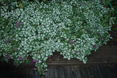 Lamium maculatum 'Beacon Silver'.jpg
