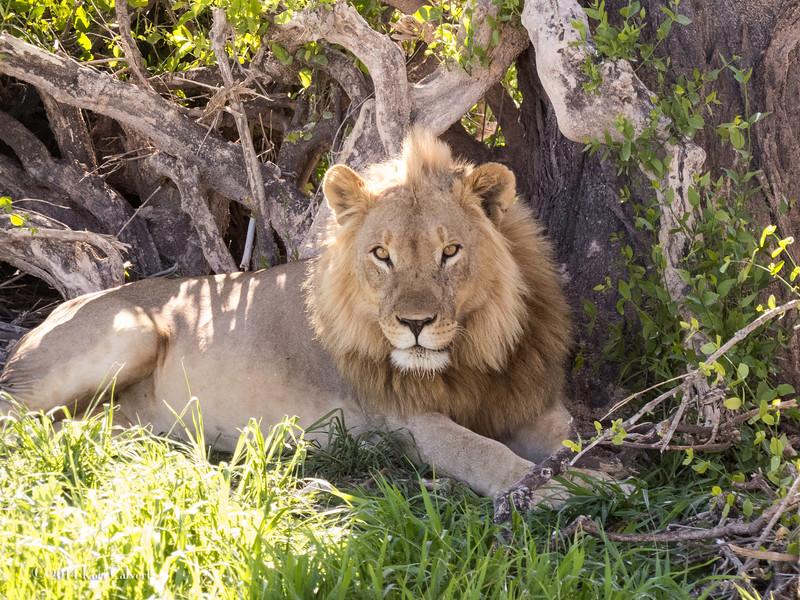 Lions Etosha-K-1.jpg