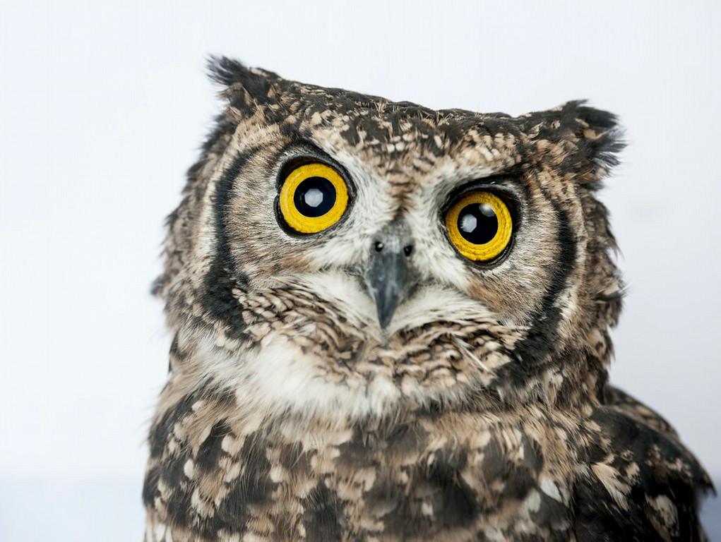 """. 7. OWLS <p>�Hoo� killed the canary?  (unranked) </p><p><b><a href=\""""http://www.twincities.com/breakingnews/ci_26357816/owl-enters-10th-story-apartment-kills-canary\"""" target=\""""_blank\""""> LINK </a></b> </p><p>     (Keith Tsuji/Getty Images)</p>"""