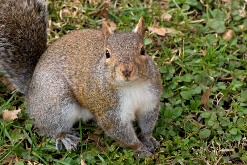 We don't name squirrels as a rule, but this one is called Girl Sq. and I have started calling her Ms. Photogenic. Her way of  going is a bit unusual, reminds one of a wind up toy dog when she is just ambling around.
