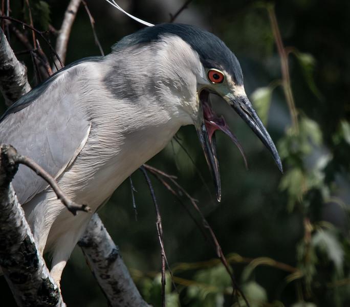 Black-crowned Night Heron tongue
