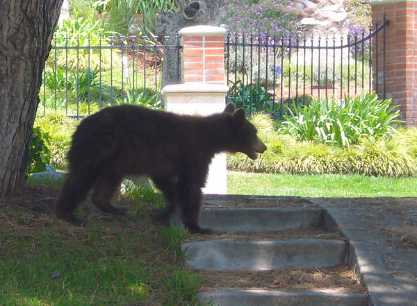 memorial day bradbury bear