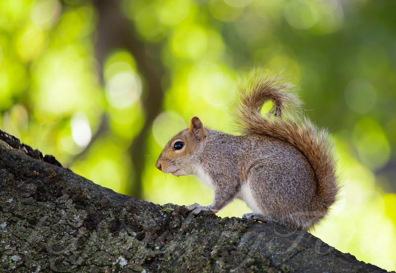 Stanford Squirrel