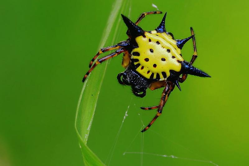 DSC_5319 Spiny spider (Gasteracantha hasseltii).jpg