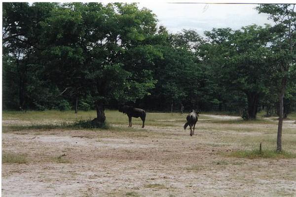 07_Safari_photos_Gnous.jpg