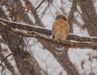 Hawk in a Snowstorm