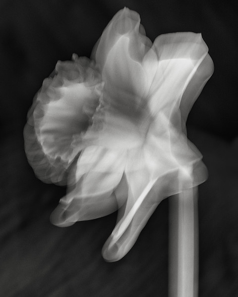 daffodil, long exposure