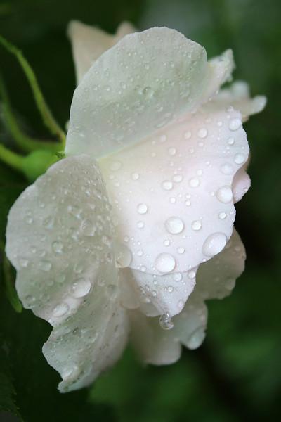 """Rain on a Rose"" - Daily Photo - 07/21/13"