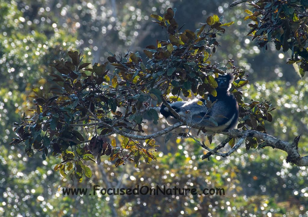 Distant Indri
