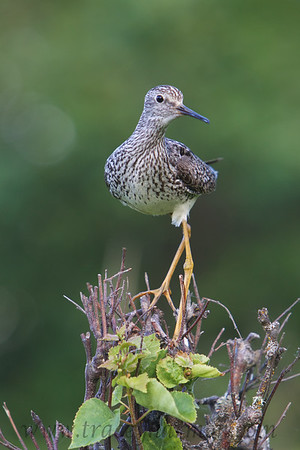 Lessor Yellowlegs