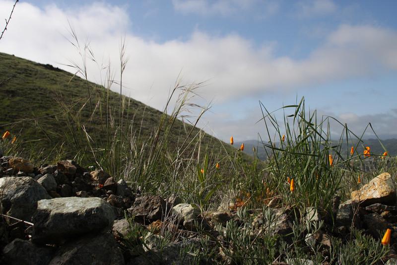 Three officially designated California state treasures: The state flower-- California poppy (Eschscholzia californica); the state grass-- Purple Needlegrass (Nassella pulchra); and the state rock--serpentinite.