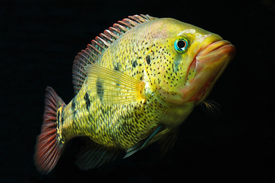 New World Cichlids of The Americas and Others