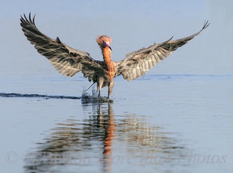 Two Point Landing Reddish Egret