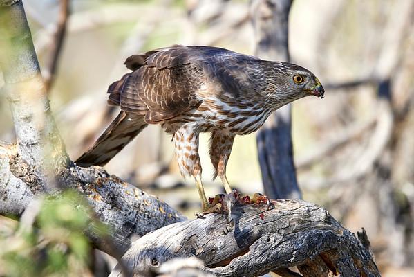 Sharp Shinned Hawk Eating Woodpecker