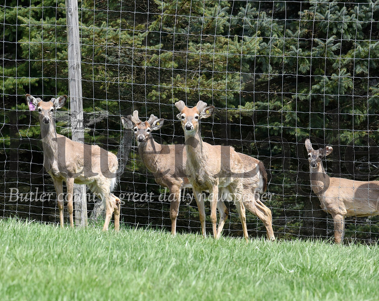 Harold Aughton/Butler Eagle: The horns on the whitetail bucks at Rocco Sloboda's deer farm in Boyers have begun to grow.