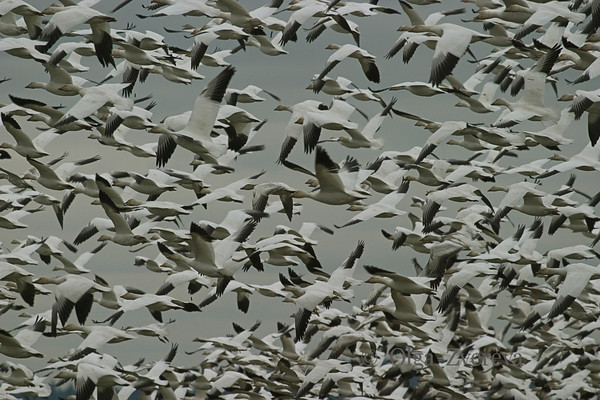 Snow Geese of Skagit Valley
