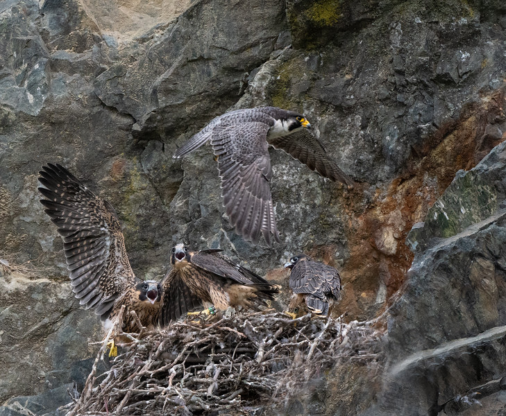 _6009152-Edit Peregrine Falcon (female on left, #16 male middle, male on right).jpg