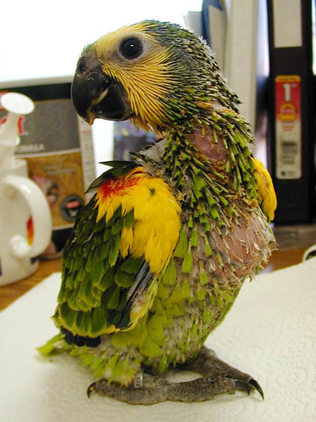 Baby Beemer (Blue-Fronted Amazon)