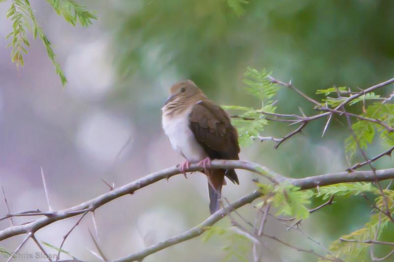 Pallid Dove at Gotas de Agua, Cajamarca, Peru (06-29-2010) 906