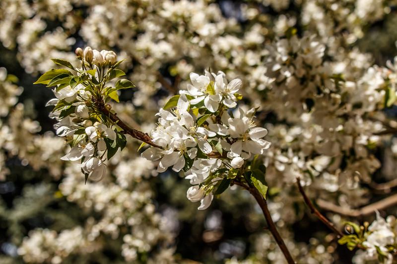 FloweringTree-01.jpg