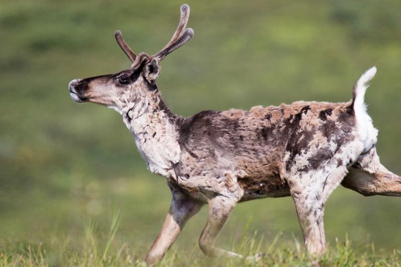 Denali N.P. Caribou 2019-3.jpg
