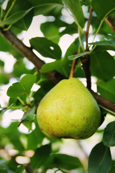 08/22/2012 - Pear