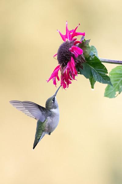 #1734 Ruby-throated Hummingbird