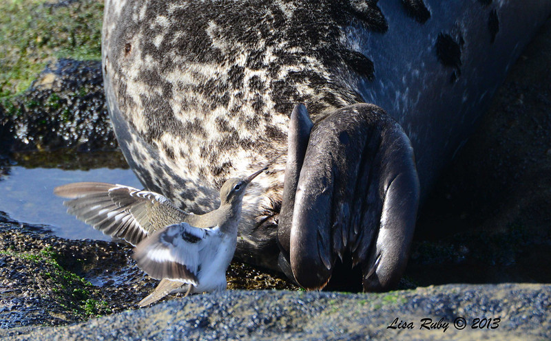 Spotted Sandpiper eating bugs from a Seal - 12/1/13 - La Jolla Cove