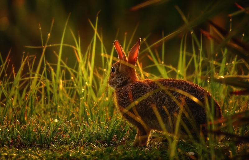 Florida Marsh Rabbit - 1.jpg
