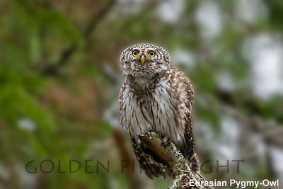 Eurasian Pygmy-Owl, Oulu, Finland