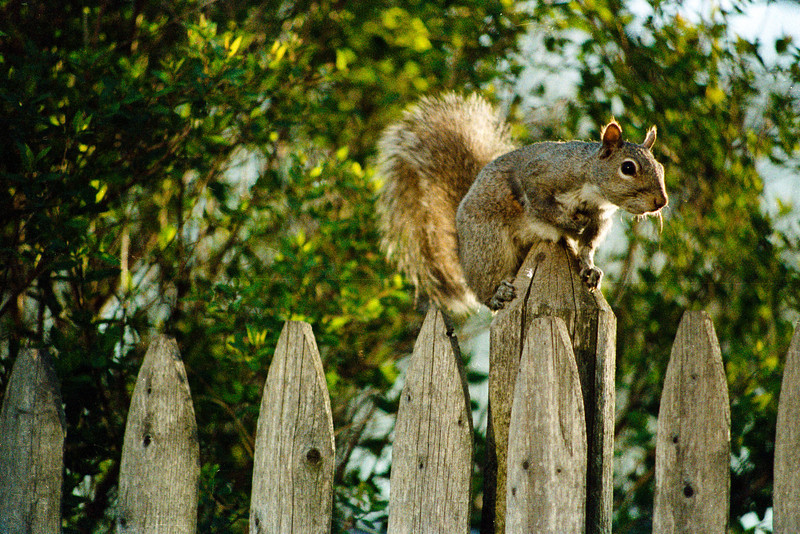 2011-05-28 [http://www.thedailyparker.com/PermaLink%2cguid%2c817e9530-a906-4508-92bc-17ec2d3b42c8.aspx  Squirrel on a Fence, Northbrook, Ill., late April 1986.  Canon T-90, Kodacolor Gold 1000, Canon 70-200mm.