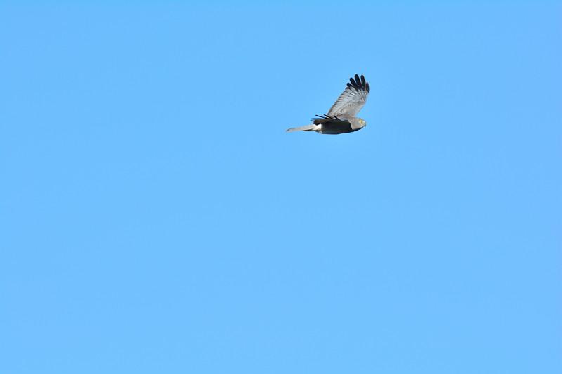 Northern Harrier Male