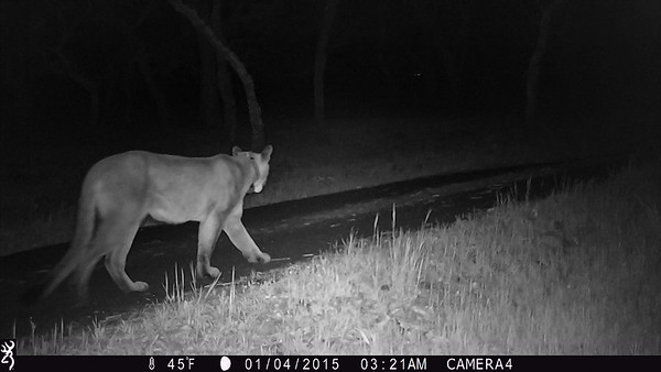 Trail Cam Shots - Cats