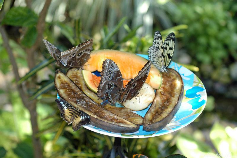 2006 Key West Butterflies DSC_0250a.jpg