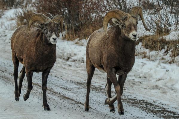 11 2013 Nov 8 Big Horn Sheep Again*^
