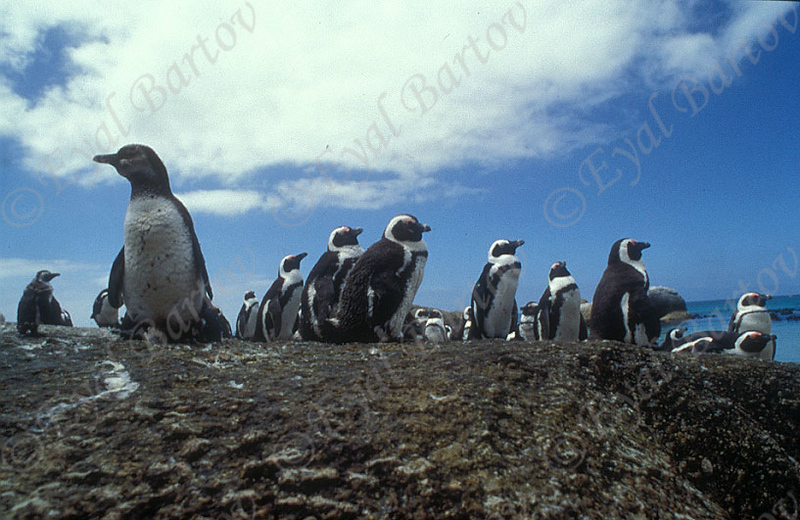 פינגווין 1.jpg