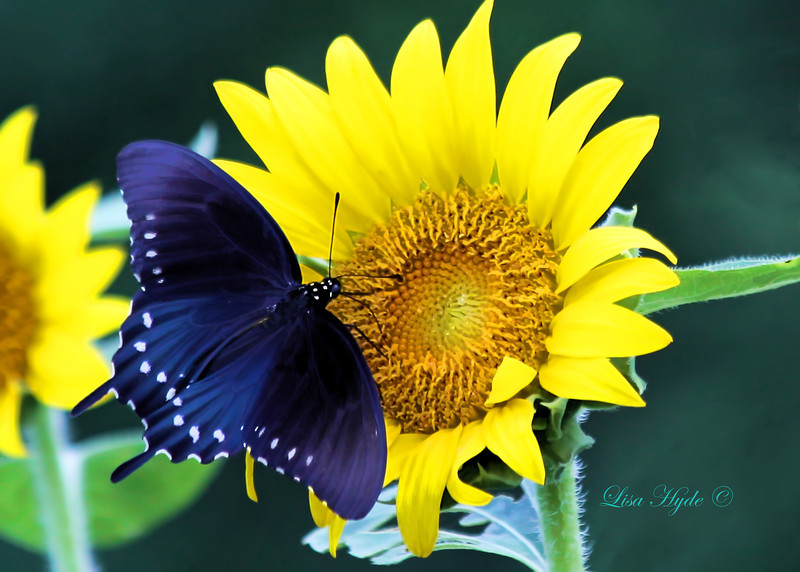 IMG_2311 Sunflower w Black Swallowtail PS signed.jpg