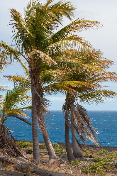 Hawaii Palms 9