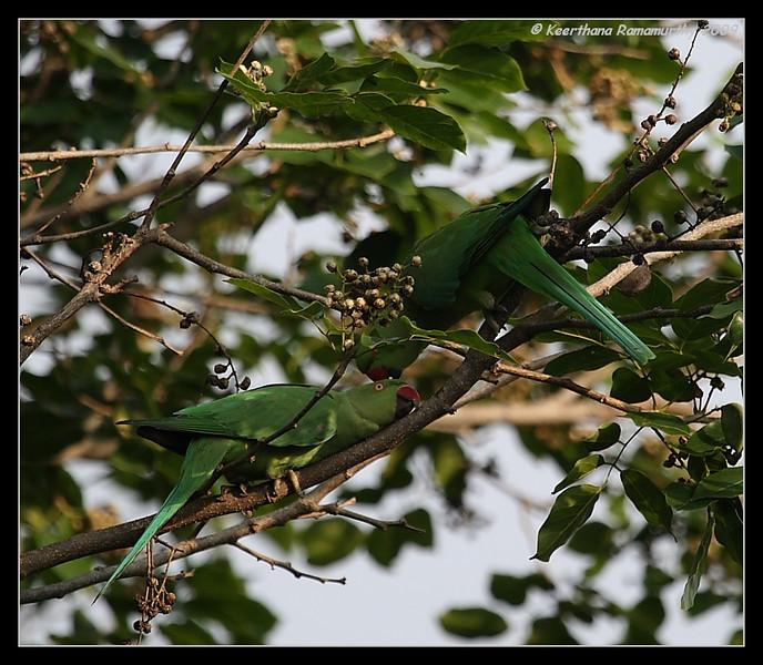 Rose-ringed Parakeet, Our Garden, Amruthur, Karnataka, India, June 2009