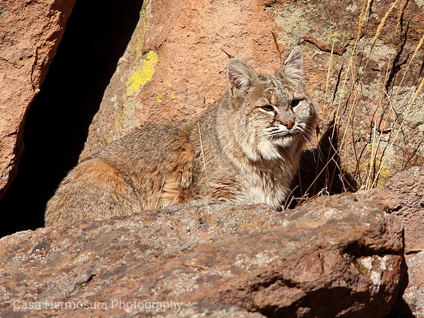 Coyotes, Cats, and Bears