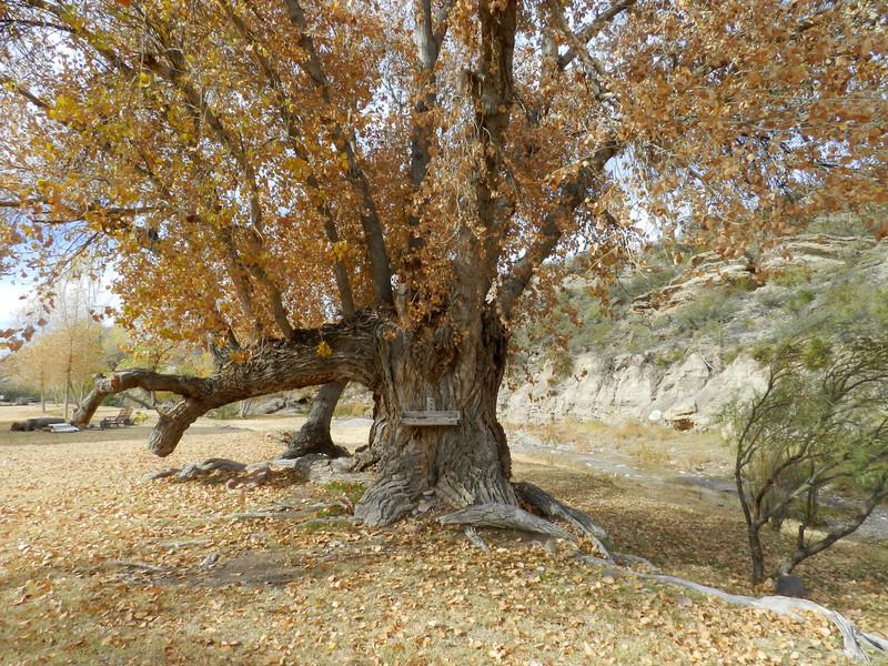 Tree big old.jpg