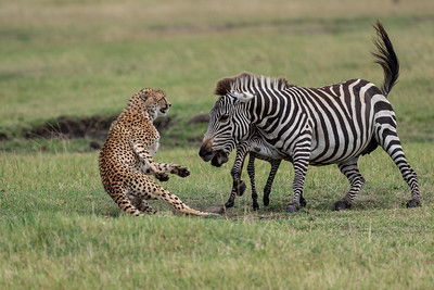 Kicheche Mara - Cheetah and zebra 09 2018