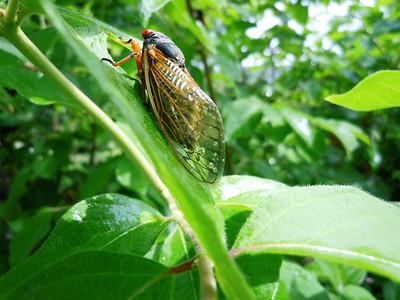 Cicadas - After the Rain - 2