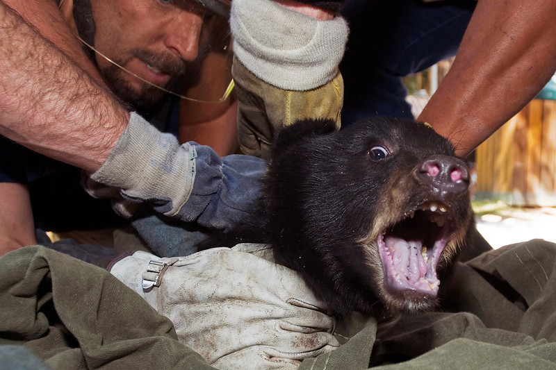 "Paul Conrad/The Aspen Times As Aspen fire fighter Craig Melville, left, and others hold tight, a bear cub screams Saturday afternoon Sept. 8, 2007, on the Hyman Avenue Mall in Aspen. A mother and her two cubs were captured by the Colorado Division of Wildlife to be moved to a safer region. ""We'll be letting them go as a family,"" said DOW wildlife manager Kevin Wright. The mother and her cubs have been creating a stir over the last few days as they napped in trees and searched for food in the downtown core. Aspen police and fire personell helped in the capture of the bruin family."