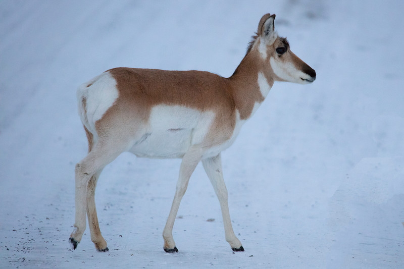 387A9406 Pronghorn child.jpg